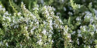 7 μυστικά για φύτευση και καλλιέργεια δεντρολίβανου | Τα Μυστικά του Κήπου